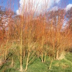 winer willow